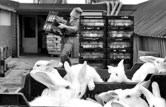 Breeder rabbits in transport.