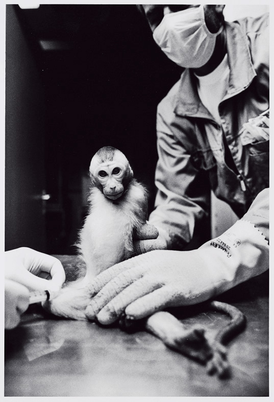 Drawing blood from a macaque monkey in a vaccine lab.