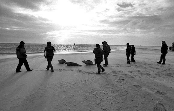 Rescued seals are released into the ocean.