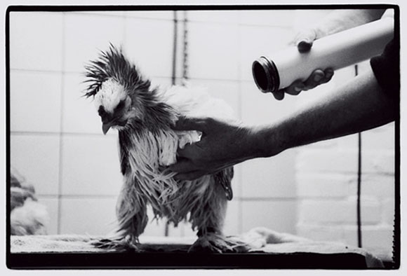 Grooming a prize Brahma chicken for competition.