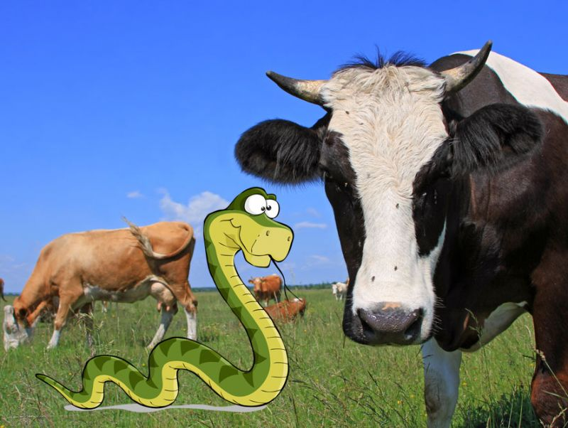 Study Cows Are 25 Percent Snake Mother Jones