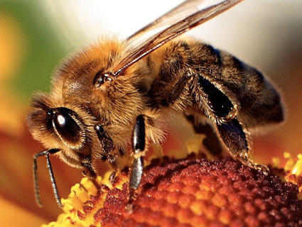 Croatians (and Americans) Training Honeybees to Sniff Out Landmines