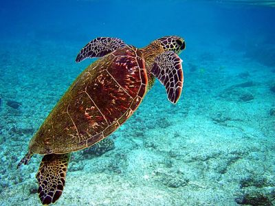 Green sea turtle: Brocken Inaglory via Wikimedia Commons