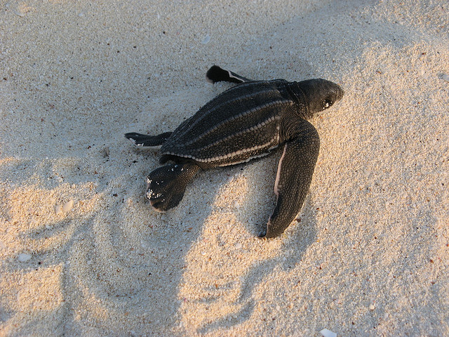 Leatherback sea turtle hatchling: Ken Clifton | algaedoc