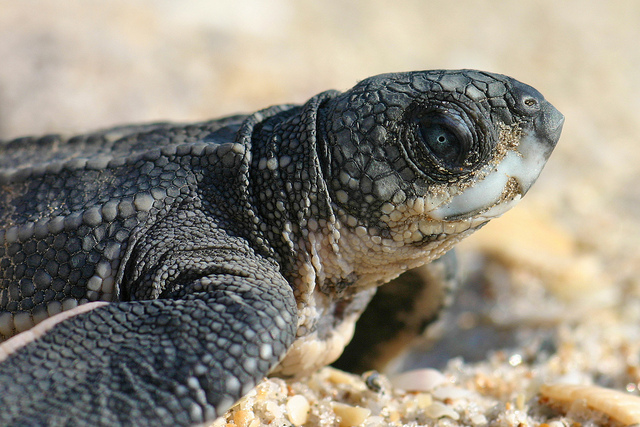 Leatherback sea turtle hatchling: Florida Fish and Wildlife via Flickr