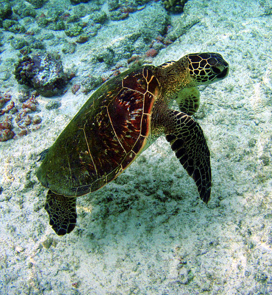 553px-Chelonia_mydas_in_Kona_Hawaii_2008.jpg