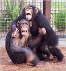 chimp_knuckels_130x140.jpg