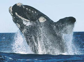 right_whale.jpg