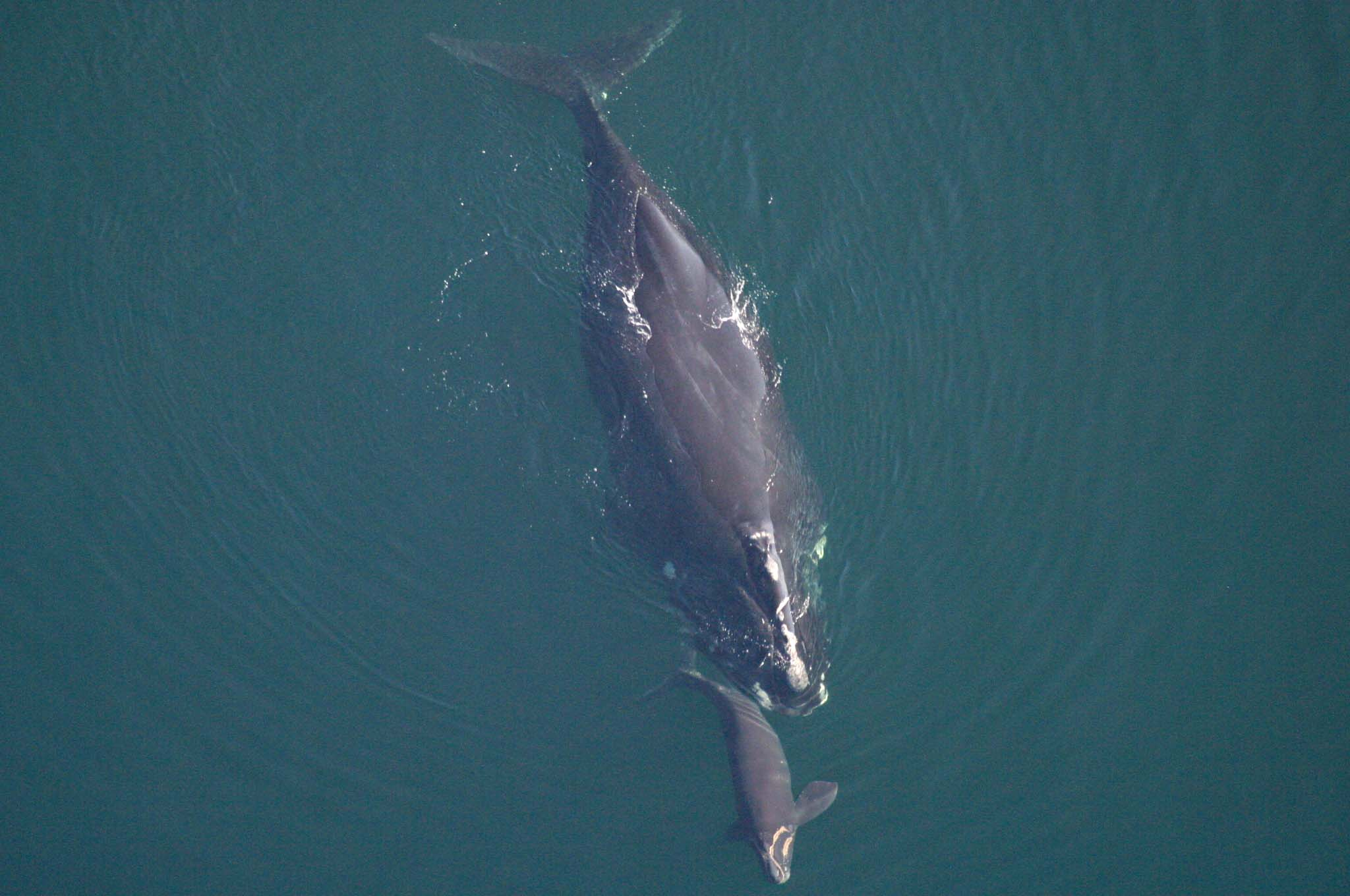 rightwhale_georgia_dnr.jpg