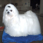 Photo of a maltese