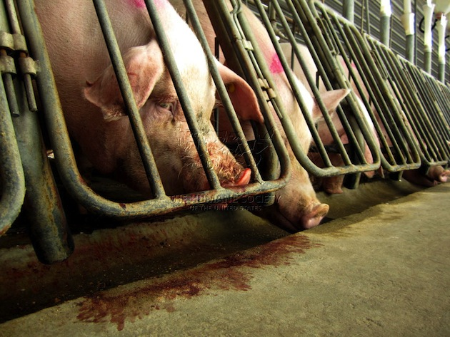 Hogwash: Big Ag's Ban on Caging Pregnant Pigs Is Just For Show