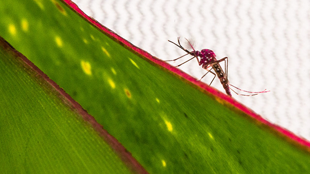 A transgenic, dyed mosquito