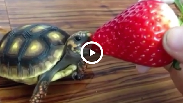 Baby Tortoise Eating Quot Baby Turtle Eating