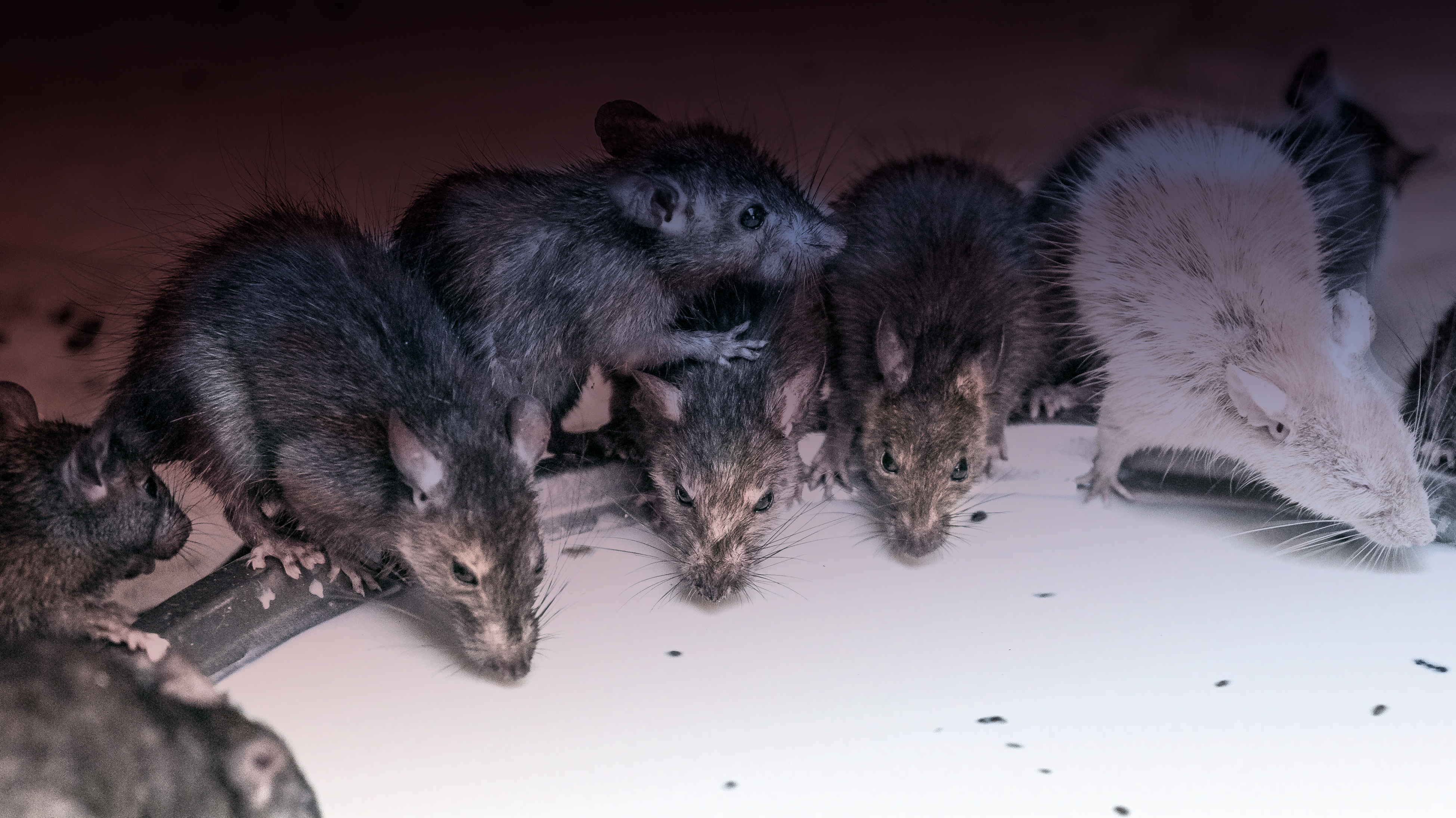 Norway rats trade different commodities -- ScienceDaily