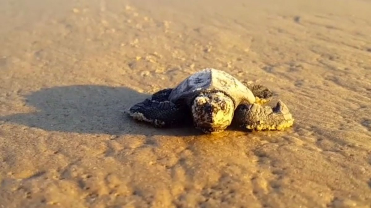 These baby sea turtles discovering water are what you need today.