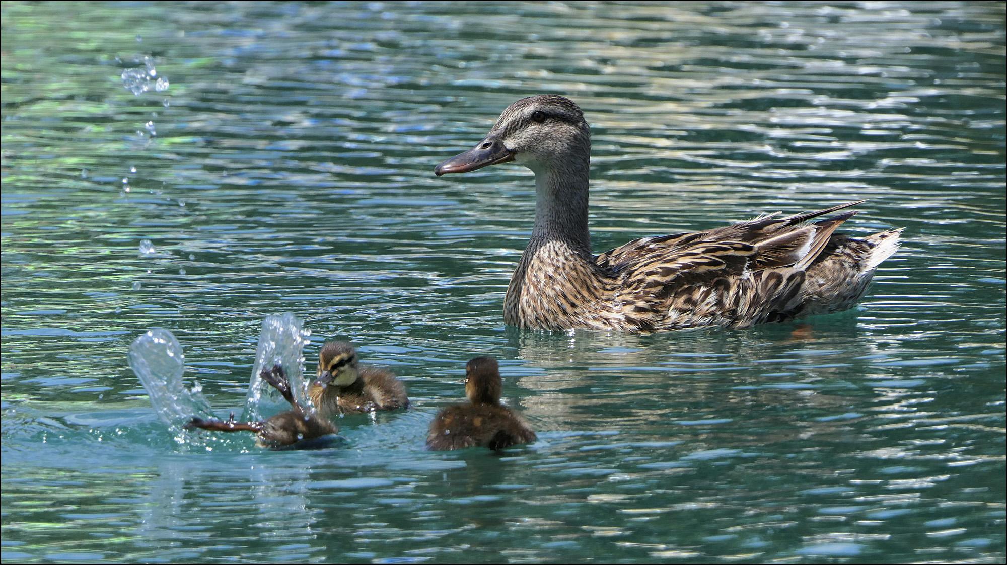 Canada Goose 2015-2016 Frontera popular