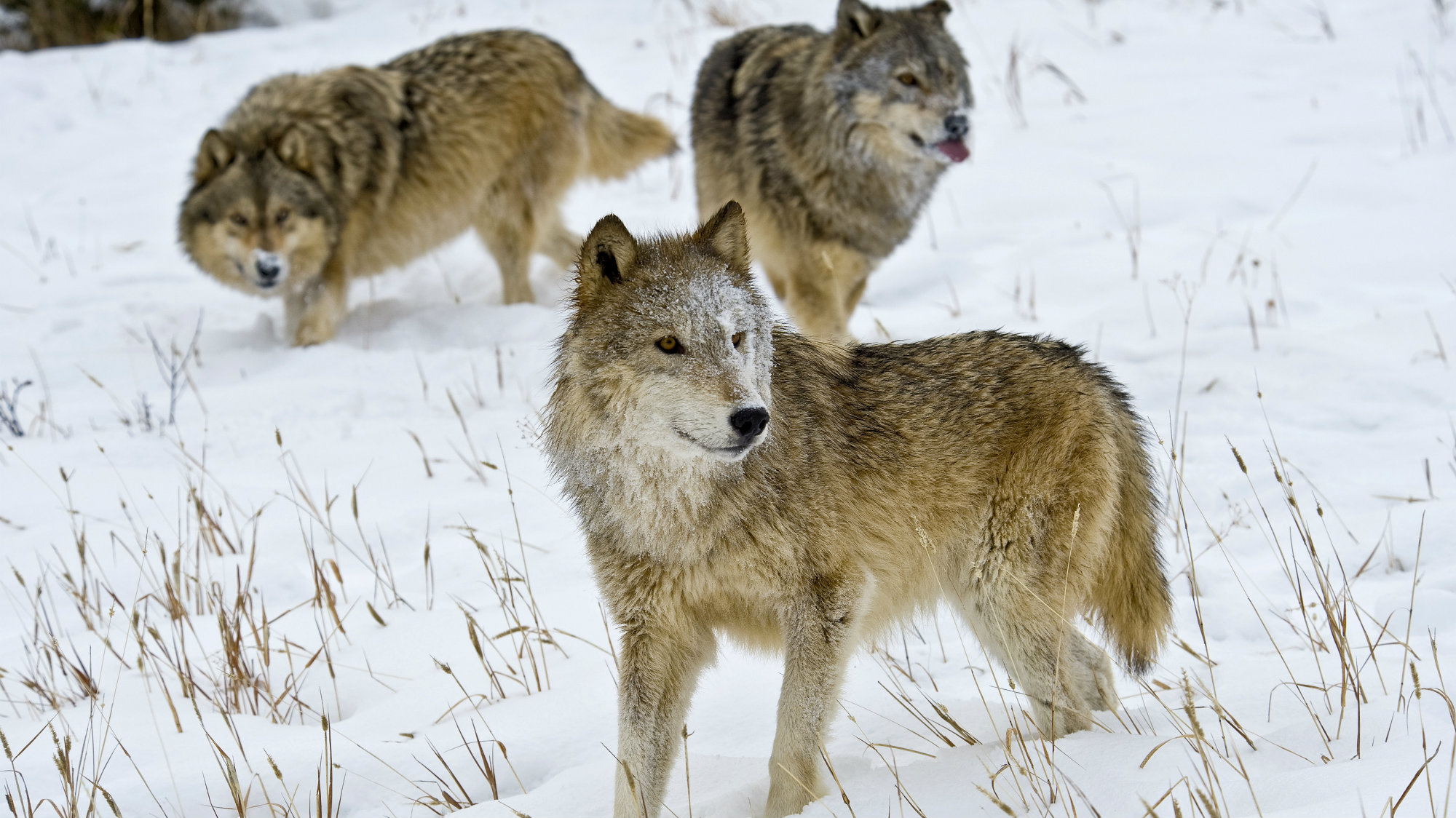 Gray Wolves to be Kept on Endangered Species List