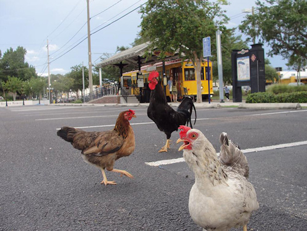 Welcome to Tampa, Where Feral Chickens Are High on the