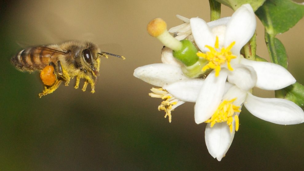 puerto rico may hold the answer to saving the bees mother jones