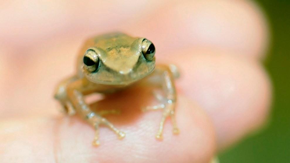Coqui frog