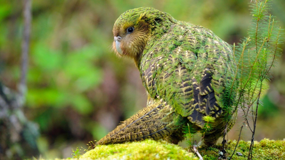 Behold The Return Of The Amazing New Zealand Owl Parrot Look At It Dance Mother Jones