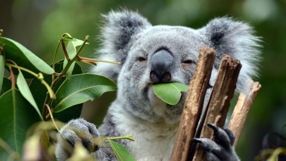 The Key to Saving Starving Koalas Might Be…Their Poop – Mother Jones
