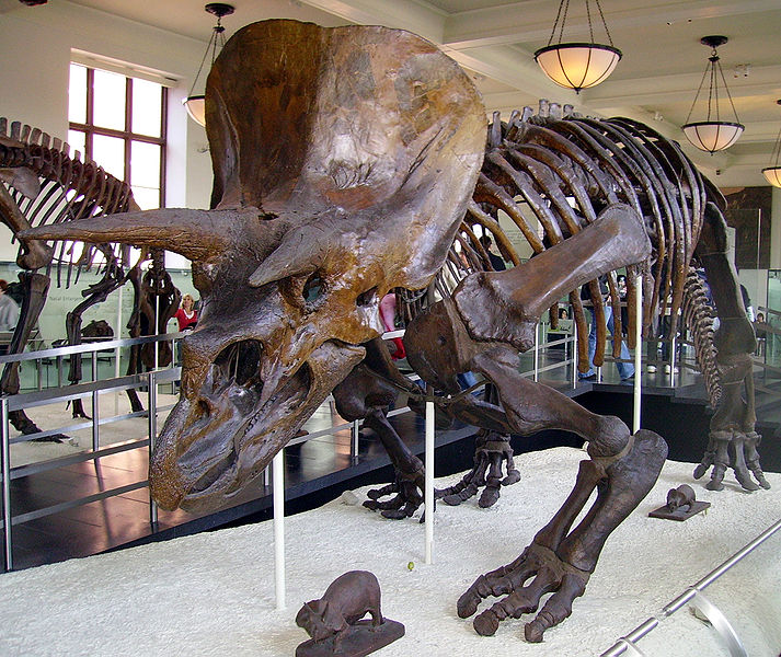 Triceratops skeleton at the American Museum of Natural History.