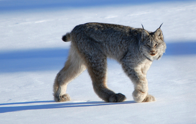 snowshoe hare and lynx images galleries with a bite. Black Bedroom Furniture Sets. Home Design Ideas