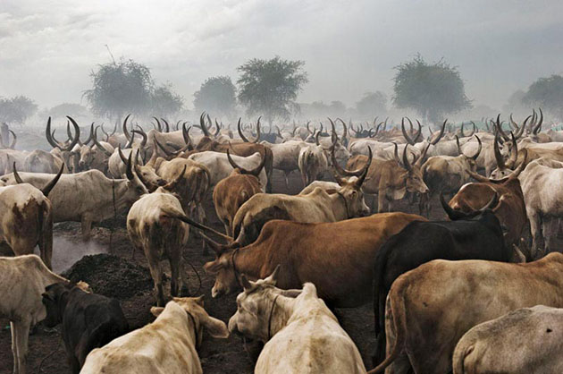 Bir-Diak cattle camp of the Pakam clan of the Dinka tribe, Lakes State. The social structures of the pastoralist societies are based on the possession and successful retention of cattle.