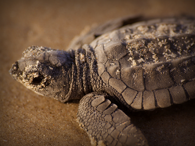 Kemp's ridley trutle hatchling, Padre Island National Seashore: