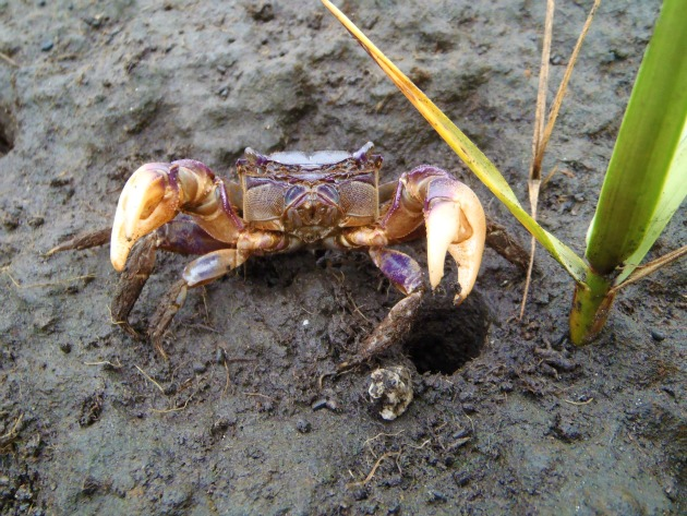Purple marsh crab