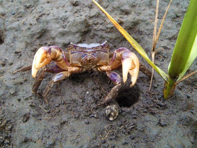 Invasive Crab Restoring Cape Cod's Dwindling Salt Marshes ...