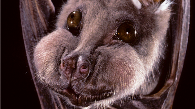 these bats look exactly like teddy bears and cute little piggies