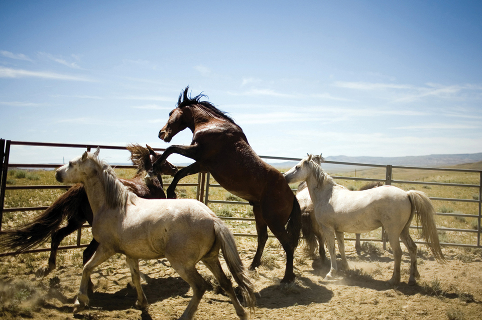 Thunder of the Mustangs: Legend and Lore of the Wild Horses