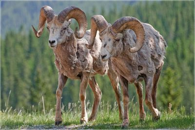Bighorn sheep: Philipp Haupt via Wikimedia Commons