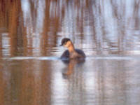 The only known photograph of an Alaotra Grebe, confirmed extinct this year. Photo by Paul Thompson, courtesy Wikimedia Commons.