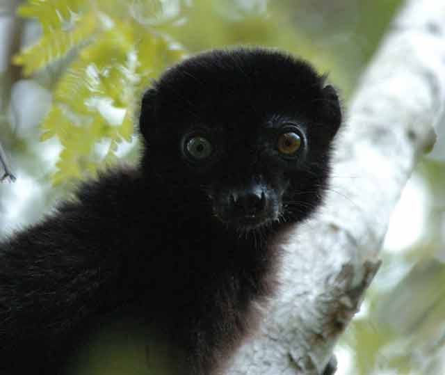 The blue-eyed black lemur is the only primate species (besides humans) with blue eyes © Conservation International/photo by Russell A. Mittermeier