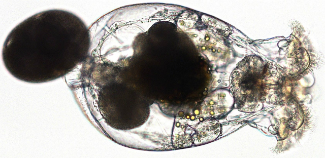 Female rotifer, Brachionus manjavacas, with eggs: R. Ric-Martinez et al. Invironmental Pollution. http://dx.doi.org/10.1016/j.envpol.2012.09.024