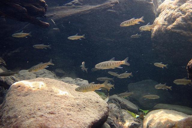 Coho salmon juveniles John McMillan | NOAA via Flickr