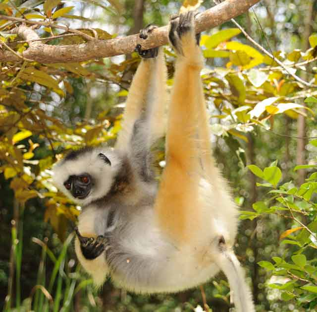 The diademed sifaka hangs out. © Conservation International/photo by Russell A. Mittermeier