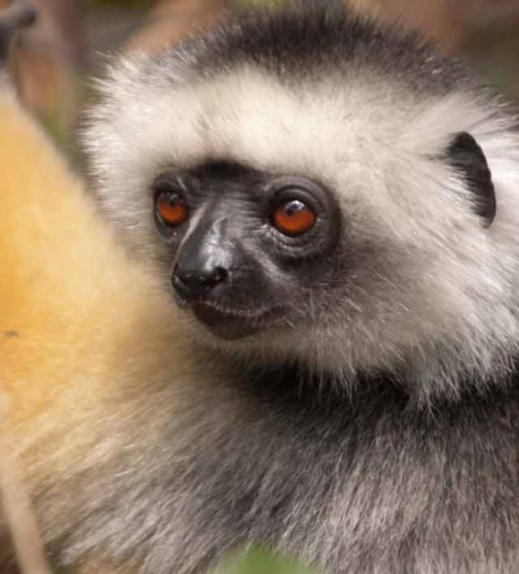 The diademed sifaka, a colorful species of lemur © Conservation International/photo by Russell A. Mittermeier