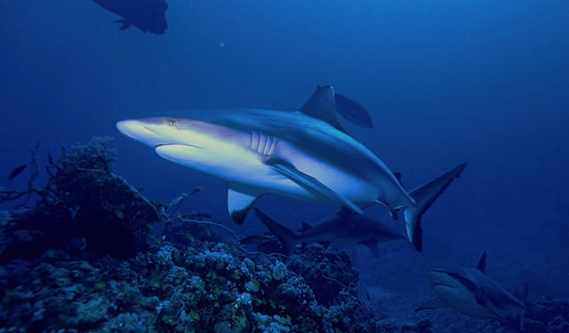 Gray reefs sharks: Albert kok via Wikimedia Commons
