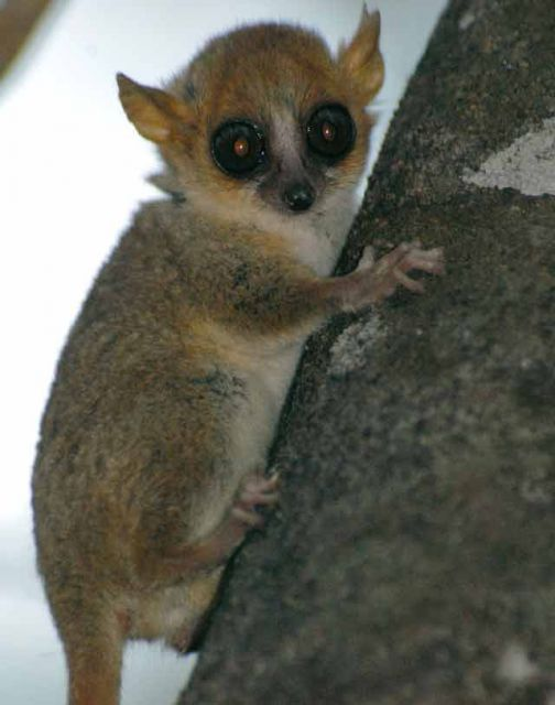 At only an ounce, Madame Berthe's mouse lemur is the smallest primate in the world.  © Conservation International/photo by Russell A. Mittermeier