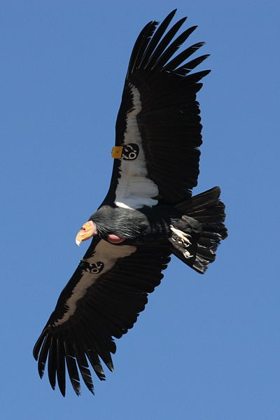 400px-Condor_in_flight.JPG