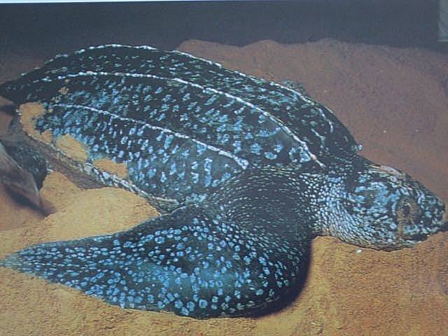TortueLuth_Leatherback.jpg