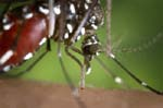 asian-tiger-mosquito.jpg