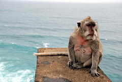 fishing%20macaque.jpg