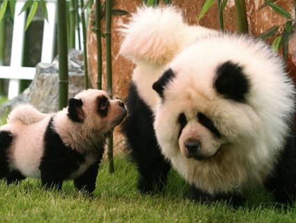 Dog Dyed Like Panda