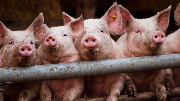 Hog Wild Factory Farms Are Poisoning Iowa S Drinking Water Mother Jones